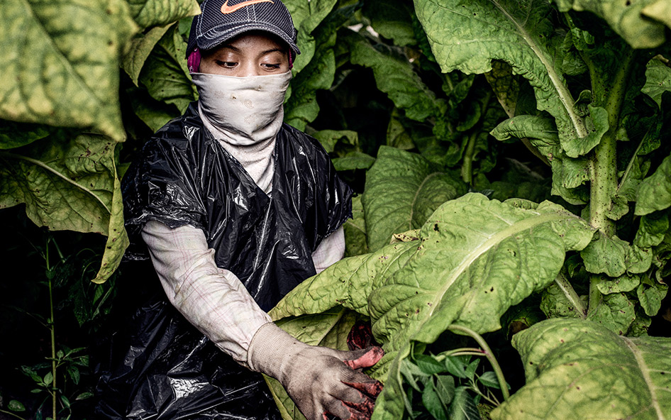 girl working in a tobacco field