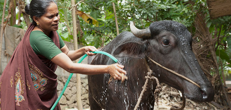 Microfinance loans provided the funds for this woman to purchase a water buffalo and keep her family from falling into the cycle of poverty.