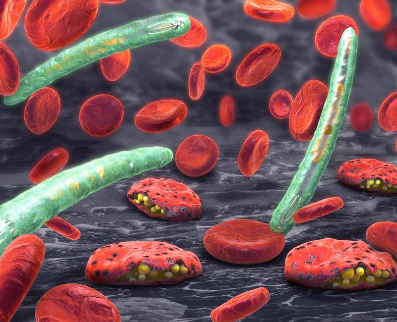 Malaria parasite (plasmodium)
